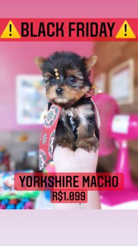 Yorkshire macho belíssimo! - Foto 3