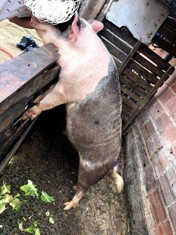 Porco - Foto 5