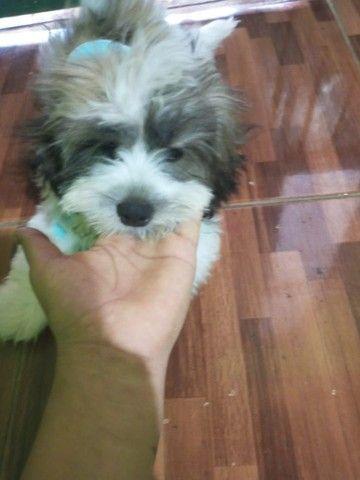 Lasa Apso 4 meses (MACHO) R$ 600 REAIS - Foto 5