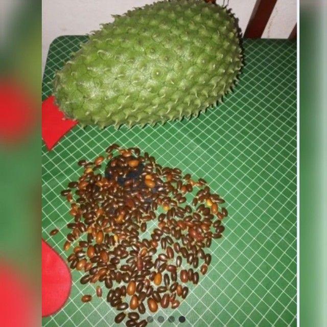 1000 sementes de Graviola da Gigante - Foto 3