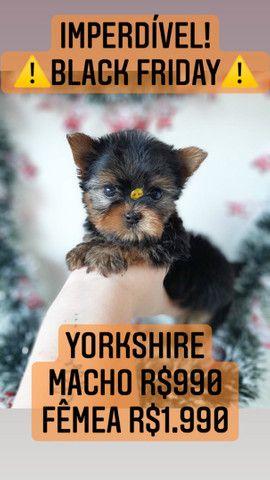 *Black Friday* Yorkshire Macho R$990 - Foto 2