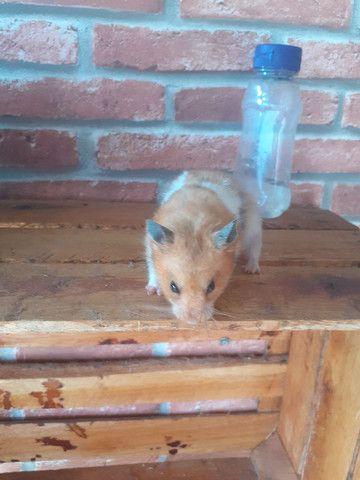 Doação de hamster airio macho  - Foto 2