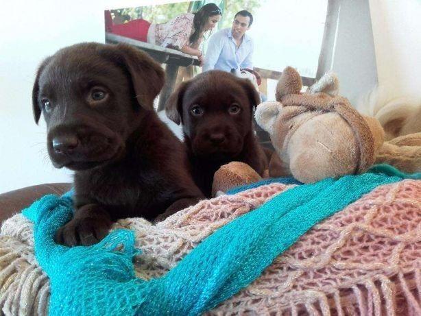 Labrador chocolate/amarelo/preto, machos e fêmeas com garantias e suportes exclusivos - Foto 2