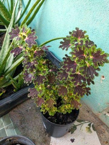 Plantas e Mudas  - Foto 6