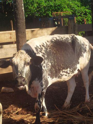 Vaca Leiteira - Foto 3