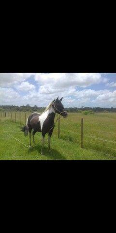 Vendo lindo cavalo