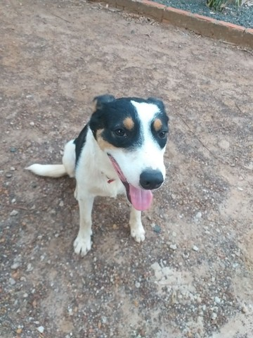 Cachorro Blue Heeler - Billy - Foto 2