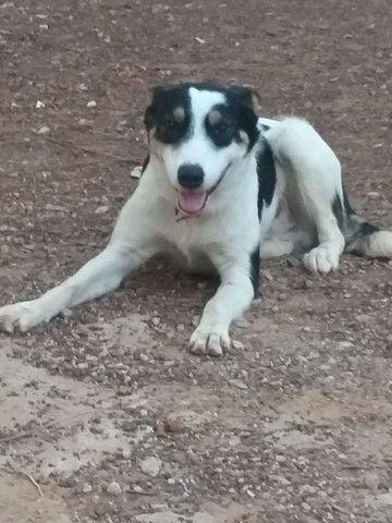 Cachorro Blue Heeler - Billy