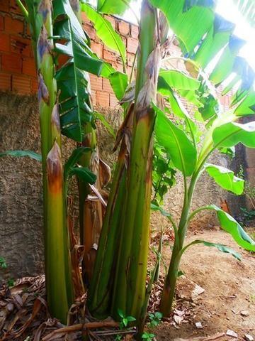 Bananeiras