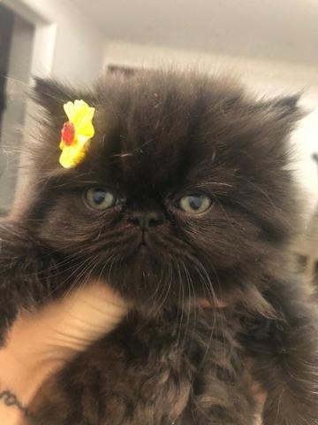 Gato persa - Foto 4