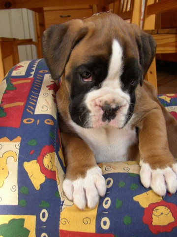 Boxer - Foto 4