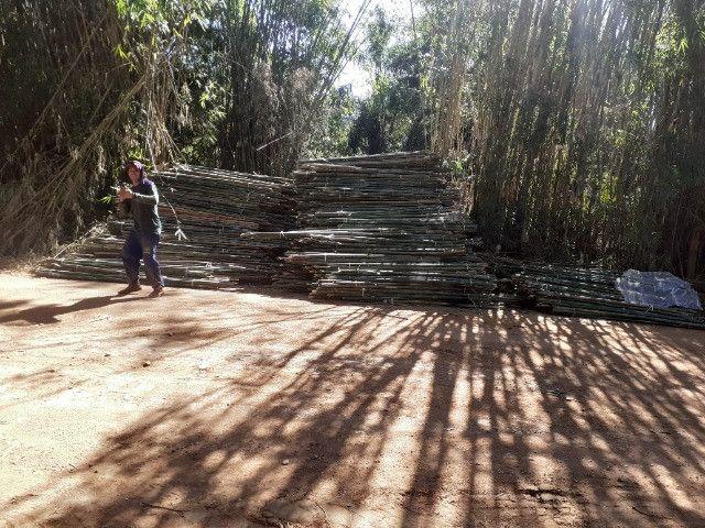 Compro moita de bambu cana da india - Foto 3