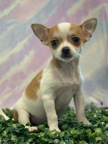 Lindos Chihuahuas!! - Foto 2