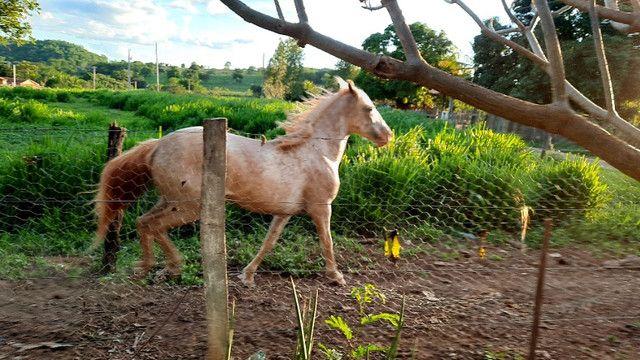 Cavalo apaluza valor 1.500 - Foto 5