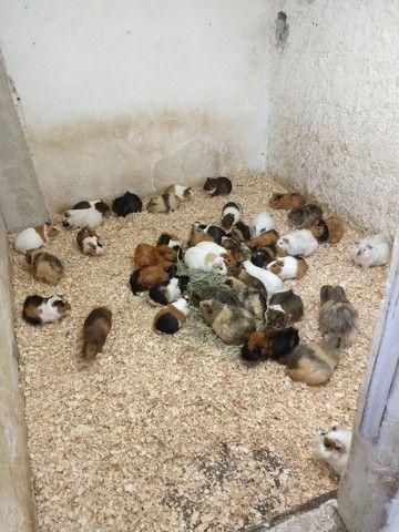 Venda permanente de filhotes inglês e peruano - Foto 2