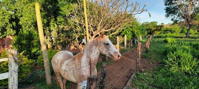 Cavalo apaluza valor 1.500 - Foto 6