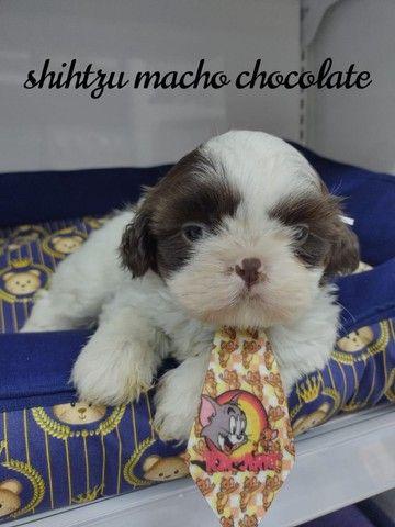 Adorável filhote de Shih tzu macho