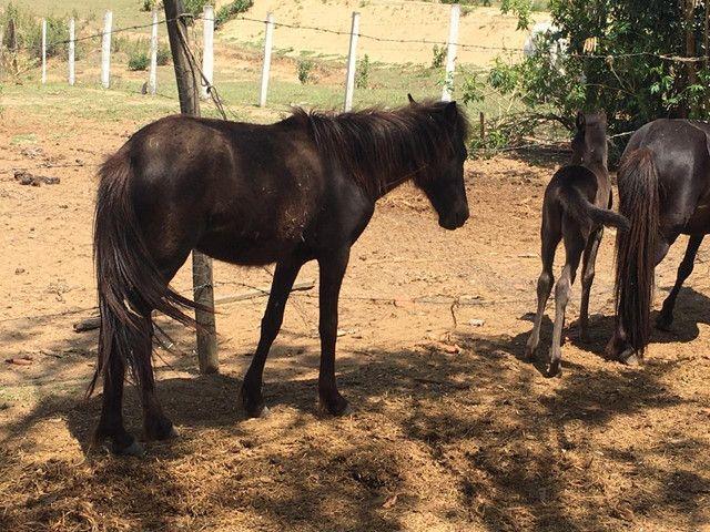 Mini horse - poney - Foto 6