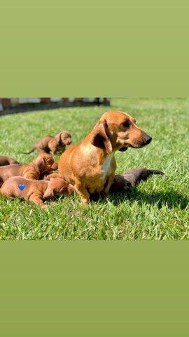 Cachorro filhote Basset Dachshund macho - Foto 6