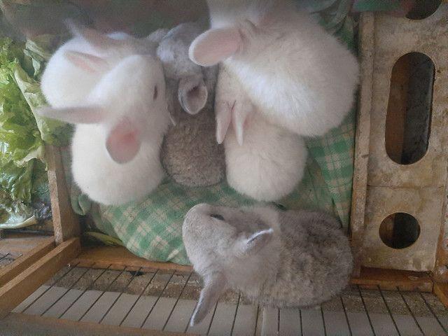 Vende se filhote de coelhos - Foto 4