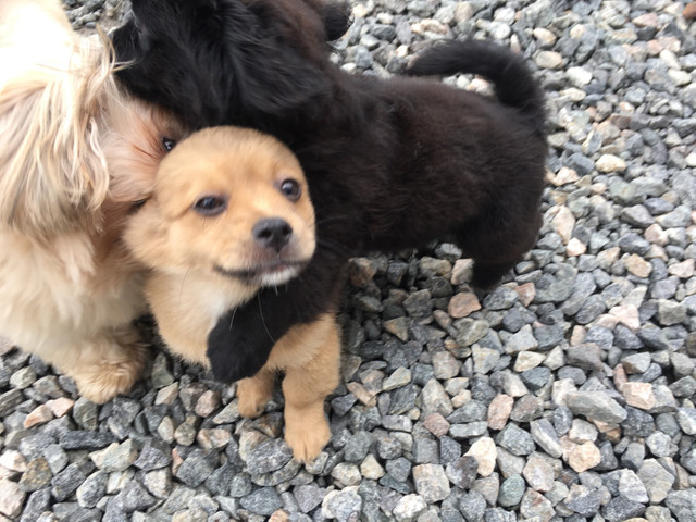Lhasa apso macho R$450 fêmea R$800 - Foto 3