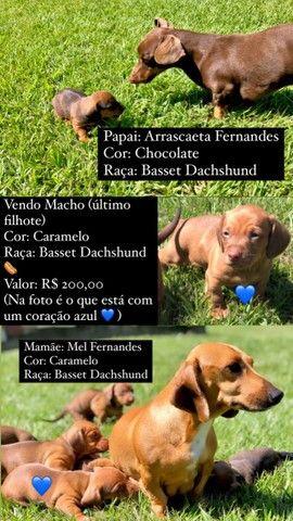 Cachorro filhote Basset Dachshund macho