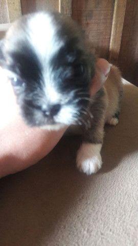 Cachorro macho lhasa com shitzu, macho forte gordinho  - Foto 3