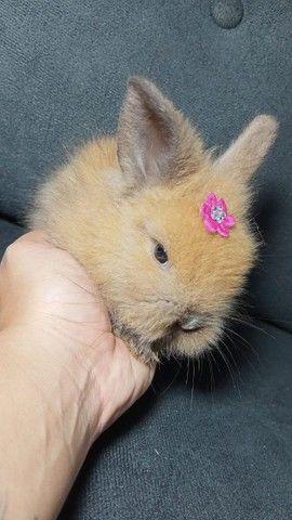 Mini coelhos Lion - Foto 4