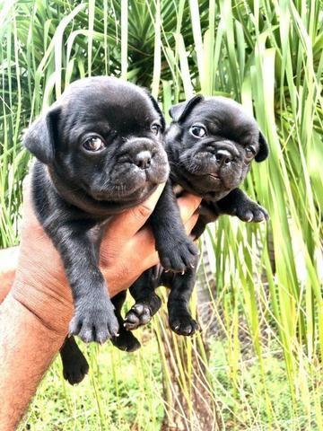 Vende-se filhotes de Bulldog francês - Foto 3