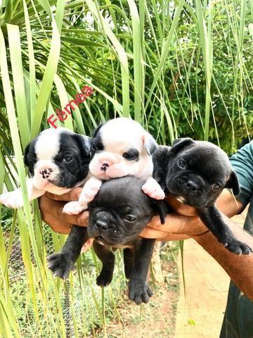 Vende-se filhotes de Bulldog francês - Foto 4