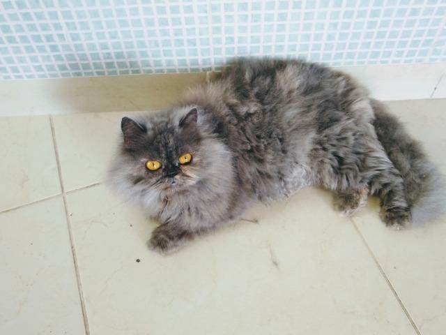 Gato persa - Foto 2