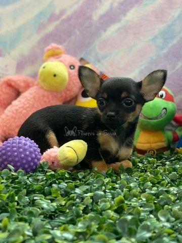 Lindos Chihuahuas!! - Foto 6