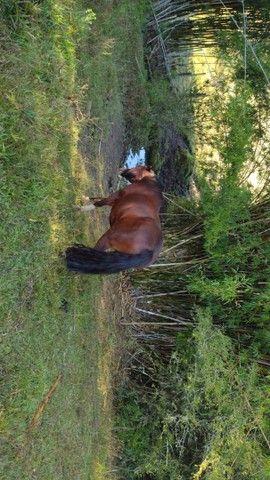 Égua Colorada marcada  - Foto 4