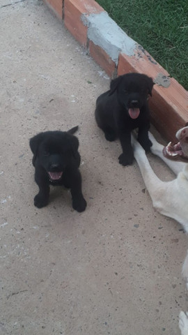 Vende-se filhotes de labrador puro - Foto 4