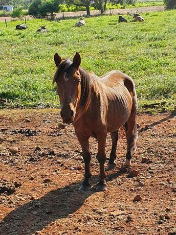 Cavalo Mangalarga - Foto 2