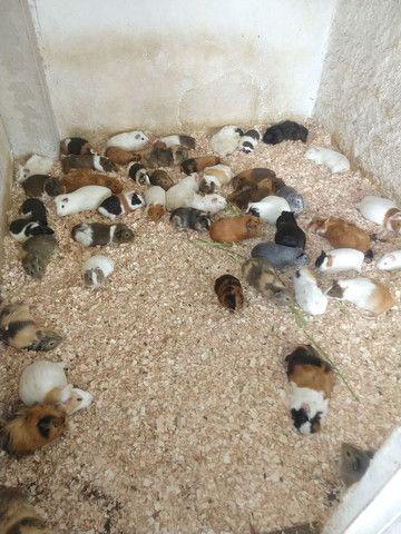 Venda permanente de filhotes inglês e peruano - Foto 3