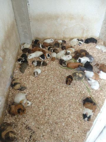 Venda permanente de filhotes inglês e peruano