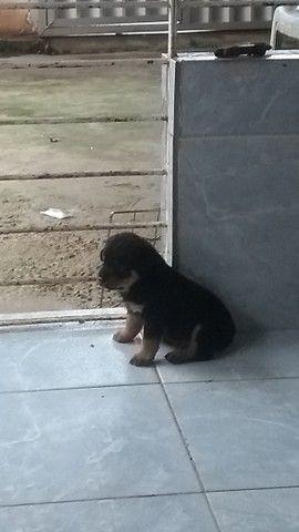 Estou com filhote de rottweiler disponível eles nasceram 15maio. só estou com um macho - Foto 3