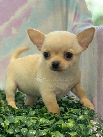 Lindos Chihuahuas!!