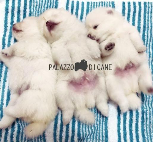Filhotes de Lulu da Pomerânia(Spitz Alemão) Brancos
