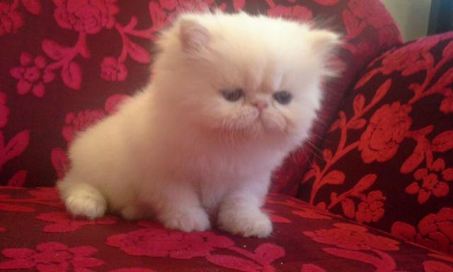 Filhotes de gato persa - pgt ate 12x