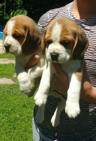Beagle, filhotes vacinados e vermifugados