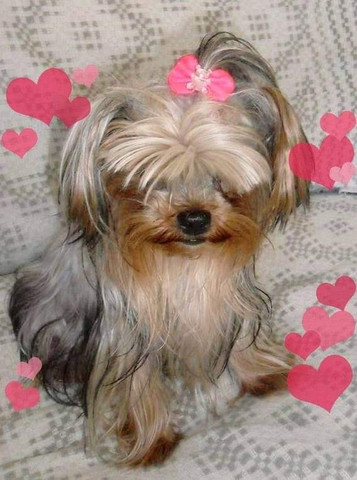 York Shire Terrier micro
