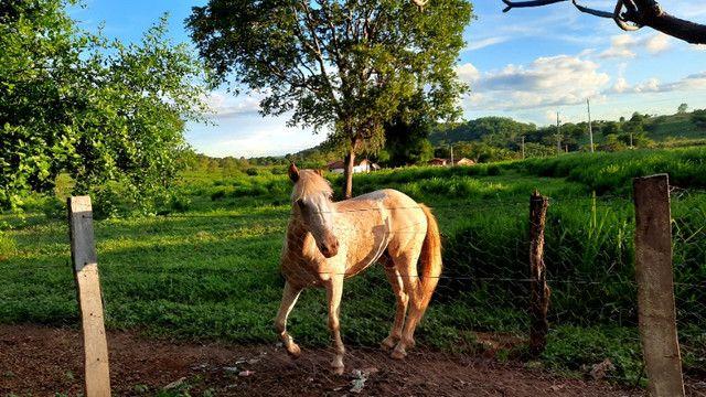 Cavalo apaluza valor 1.500 - Foto 4