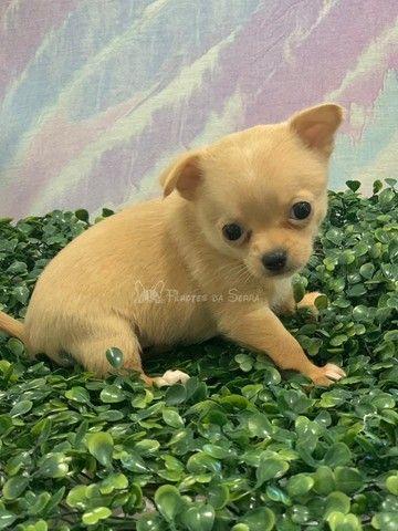Lindos Chihuahuas!! - Foto 4