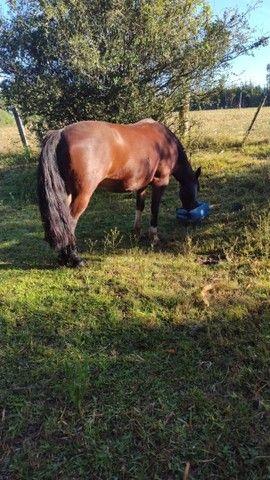 Égua Colorada marcada  - Foto 6