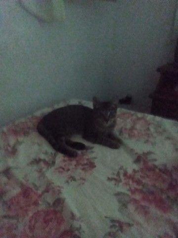 Gatinho macho já castrado para adoção - Foto 3