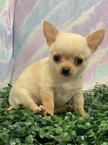 Lindos Chihuahuas!! - Foto 5