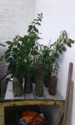 Muda Planta Ora Pro Nobis - Foto 2