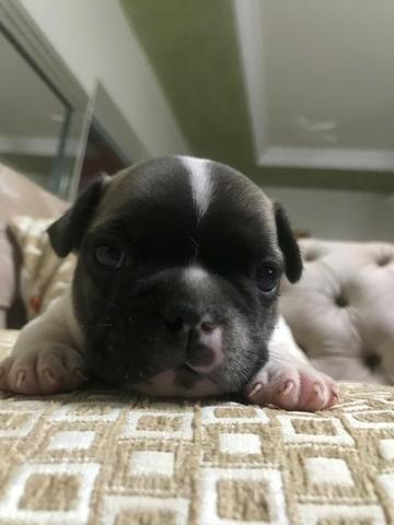 Vende-se filhotes de Bulldog francês - Foto 2